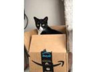 Adopt Mr. Business a Black & White or Tuxedo Domestic Shorthair (short coat) cat