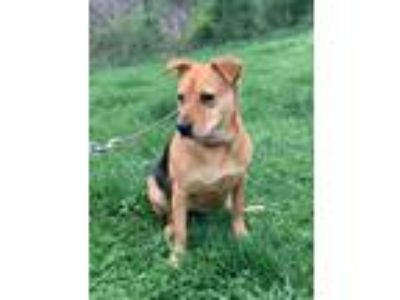 Adopt Meena a Tan/Yellow/Fawn - with Black Beagle / Hound (Unknown Type) / Mixed
