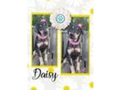 Adopt Daisy (Hound) a Black - with Tan, Yellow or Fawn Hound (Unknown Type) /