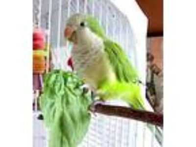 Adopt Lily a Green Parrot - Other / Mixed bird in Seattle, WA (25945389)