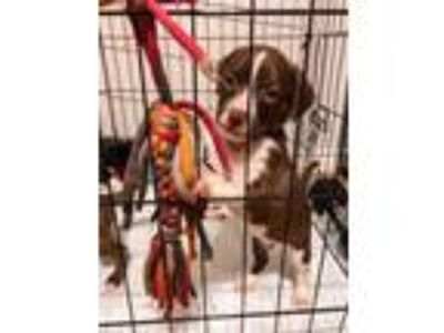 Adopt Virgil Falk a Brown/Chocolate - with White Border Collie / Labrador