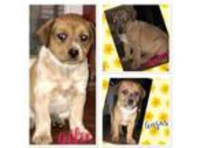 Adopt Allie a Tan/Yellow/Fawn Australian Cattle Dog / Mixed dog in West Chester