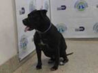Adopt NEGRA a Labrador Retriever, Mixed Breed