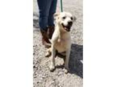 Adopt Shed Beatty a White Labrador Retriever / Husky / Mixed dog in Amelia