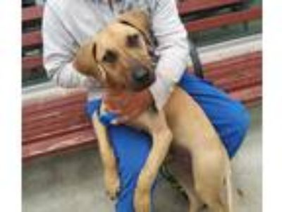 Adopt a Tan/Yellow/Fawn - with Black Great Dane / Mixed dog in San Antonio