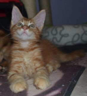 we have pure breed maine coon kittens