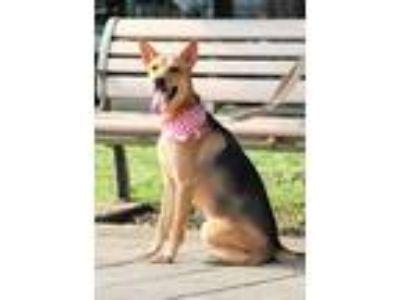 Adopt Cutie a Tan/Yellow/Fawn - with Black Shepherd (Unknown Type) / Labrador
