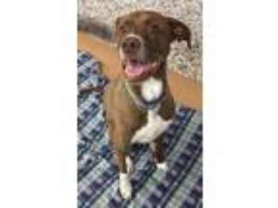 Adopt Archer a Brown/Chocolate - with White Pointer / Greyhound / Mixed dog in