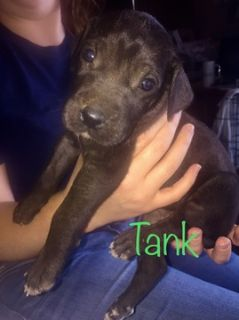 Great Dane PUPPY FOR SALE ADN-91405 - Great Dane Puppies