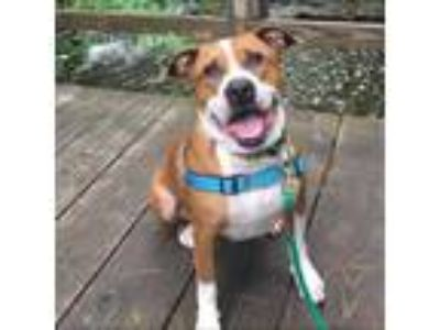 Adopt Reptar a Brown/Chocolate American Pit Bull Terrier / Mixed dog in Menands
