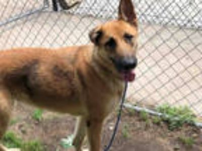 Adopt ZENA a Brown/Chocolate - with White German Shepherd Dog / Mixed dog in