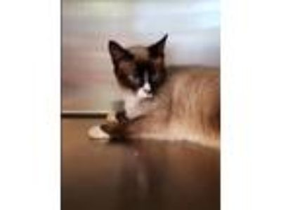 Adopt Bailey a Snowshoe, Domestic Short Hair