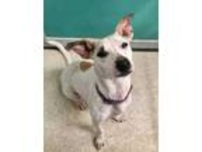 Adopt Luna a White Terrier (Unknown Type, Small) / Mixed dog in Bryan