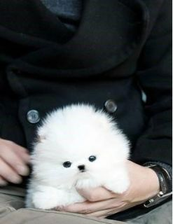 AKC Pomeranian puppies available now