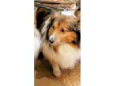 Adopt Bella a Brown/Chocolate - with White Sheltie, Shetland Sheepdog / Mixed