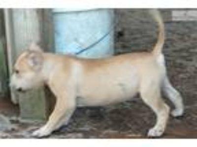 Grand Champion Sired Puppy