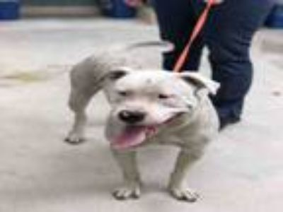 Adopt HOLMES a Pit Bull Terrier