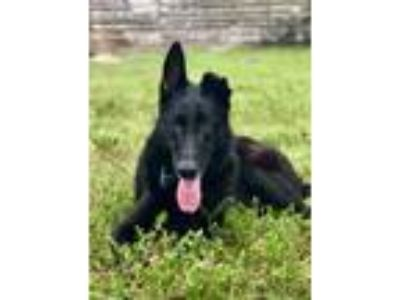 Adopt LOKI a Black German Shepherd Dog / Mixed dog in Palm City, FL (22864906)