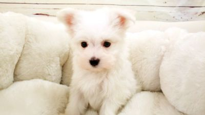 Maltese Puppy - Male - Snowball ($2,200)