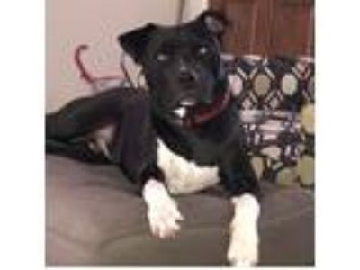 Adopt Logan a Black American Pit Bull Terrier dog in Manteca, CA (25858864)