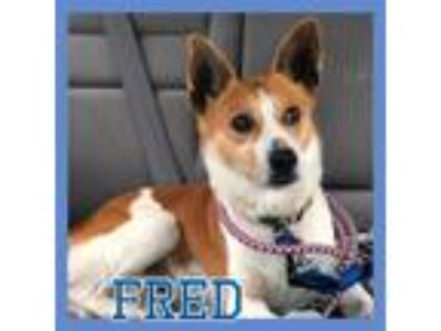 Adopt Foster Needed - FRED! a White - with Red, Golden, Orange or Chestnut Corgi
