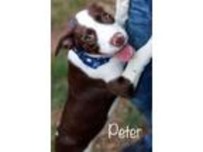 Adopt Peter a Border Collie, Pit Bull Terrier