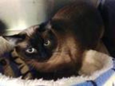 Adopt Rose a Siamese / Mixed (short coat) cat in Cumberland, ME (25306132)