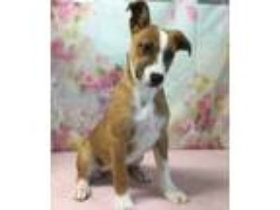 Adopt FRAZZLEE a Golden Retriever, Boxer