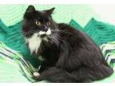 Adopt Prince Noctis a Domestic Long Hair