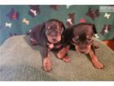 AKC Miniature Pinscher
