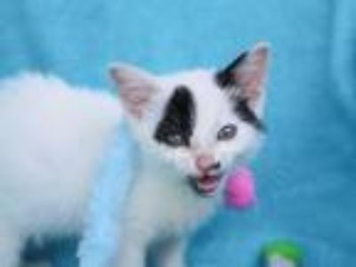 Adopt Axel a White (Mostly) Domestic Shorthair / Mixed (short coat) cat in