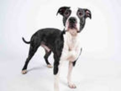 Adopt PIPA a Black - with White American Pit Bull Terrier / Mixed dog in
