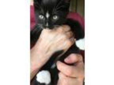 Adopt Sir Hiss a Black & White or Tuxedo American Shorthair cat in Ruston