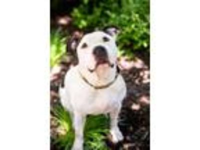 Adopt Choppers a Pit Bull Terrier