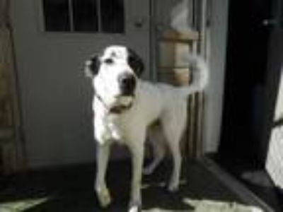 Adopt Bones a Shepherd, Border Collie