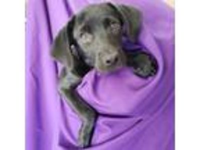 Adopt May a Labrador Retriever