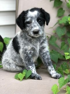 Poodle (Standard)-Australian Cattle Dog Mix PUPPY FOR SALE ADN-93578 - Fun Loving Cattle Doodles