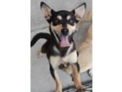 Adopt Rudy a Black - with Tan, Yellow or Fawn Corgi / Miniature Pinscher / Mixed