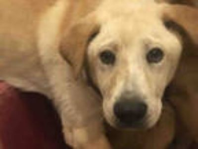 Adopt BARNEY a Tan/Yellow/Fawn - with White Labrador Retriever / Chow Chow /