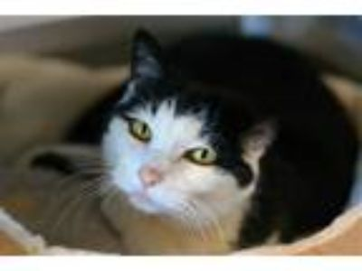 Adopt Liz a Domestic Short Hair