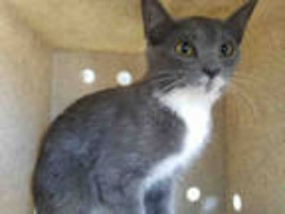 Adopt BELLY a Gray or Blue (Mostly) Domestic Shorthair / Mixed (short coat) cat