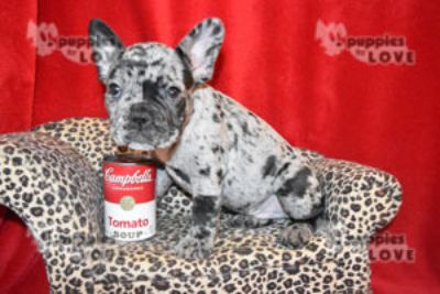 French Bulldog PUPPY FOR SALE ADN-96744 - BLUE MERLE AKC  FULL REGISTRATION