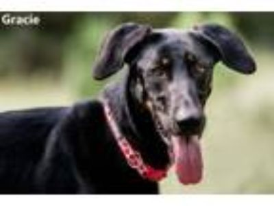 Adopt Gracie a Doberman Pinscher, German Shepherd Dog