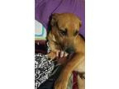Adopt Rocky a Black - with Tan, Yellow or Fawn Beagle / Jack Russell Terrier /