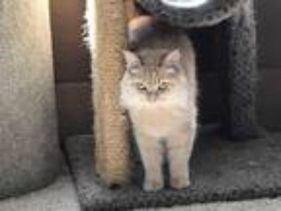 Adopt Lace19 a Domestic Longhair / Mixed (long coat) cat in Youngsville