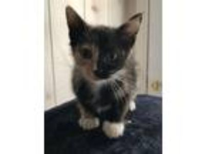 Adopt Bailey a Calico