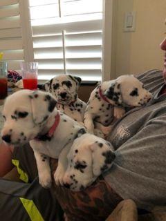 Dalmatian PUPPY FOR SALE ADN-99523 - Dalmatian puppies