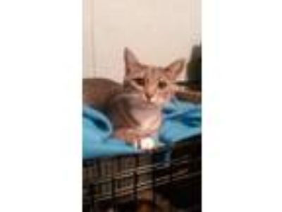 Adopt Harper a Domestic Shorthair / Mixed (short coat) cat in Valley Park