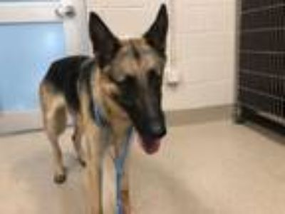 Adopt BOBBY a German Shepherd Dog, Mixed Breed