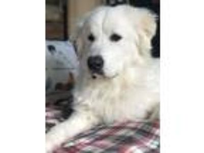Adopt Buddy a Great Pyrenees